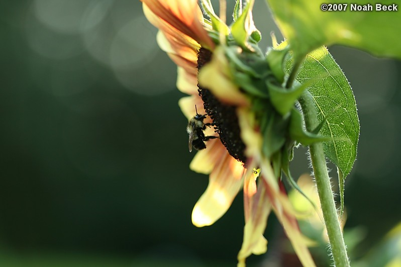 August 4, 2007: a bee on a sunflower in the garden
