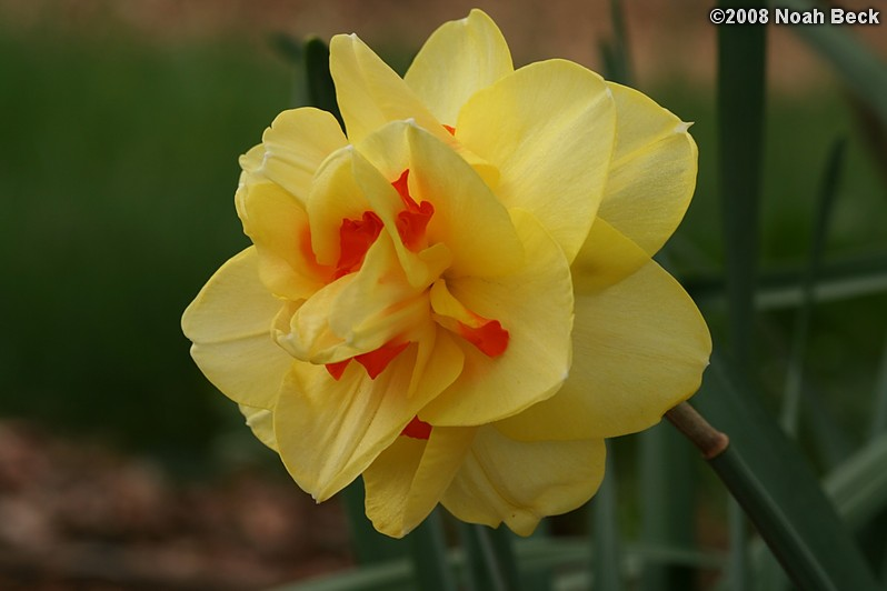 May 10, 2008: daffodil in the garden