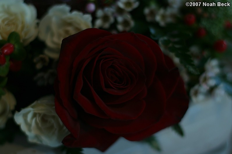 January 20, 2007: deep red rose