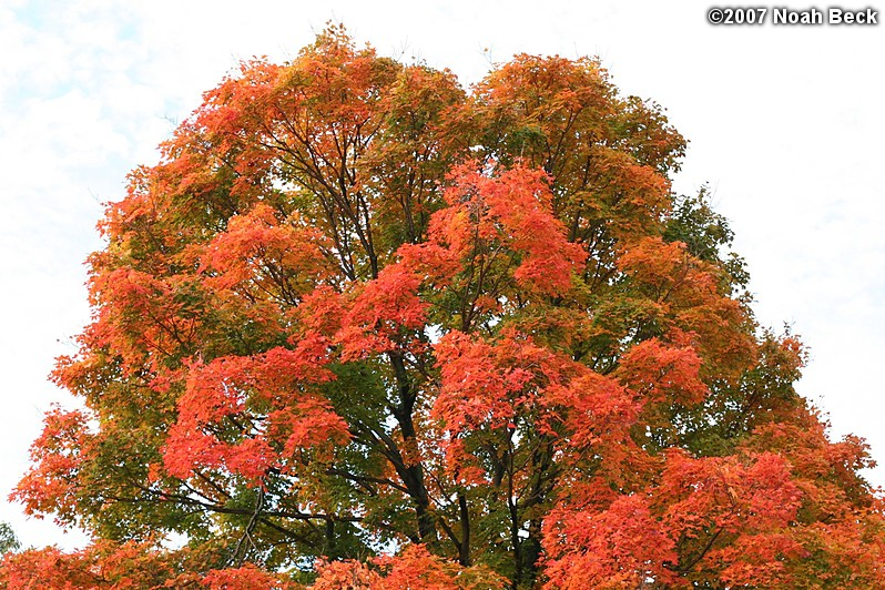 October 20, 2007: fall color of the large maple in the back yard