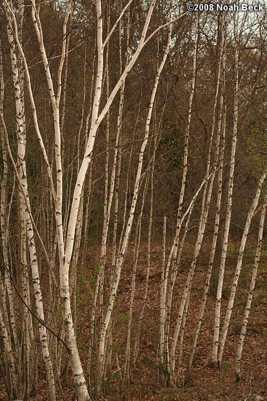 April 26, 2008: Gray birches in the yard