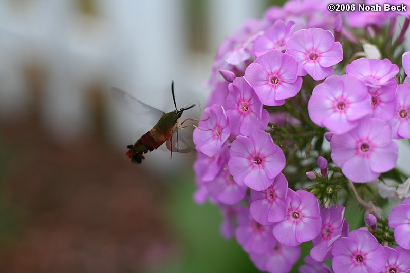 August 3, 2006: Hummingbird clearwing moth getting nectar from phlox in the garden