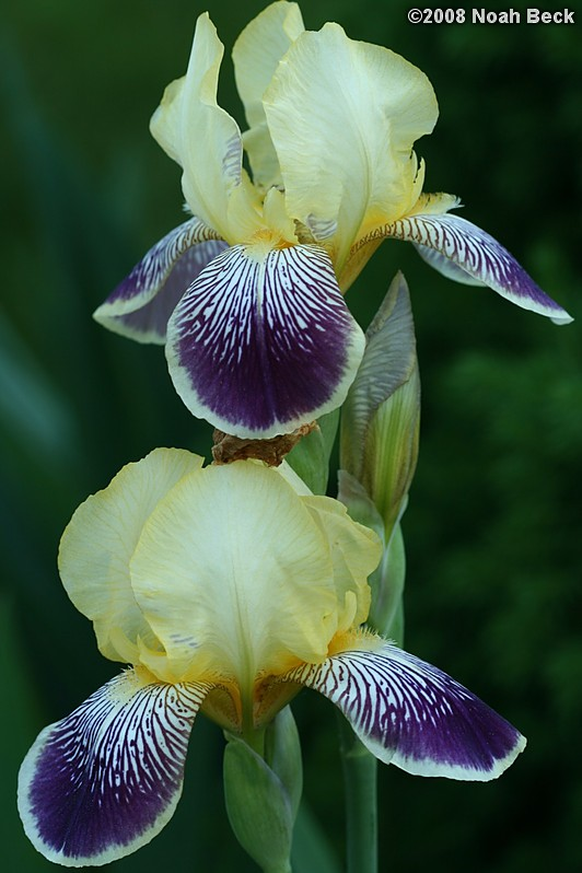 June 10, 2008: Iris growing in the garden