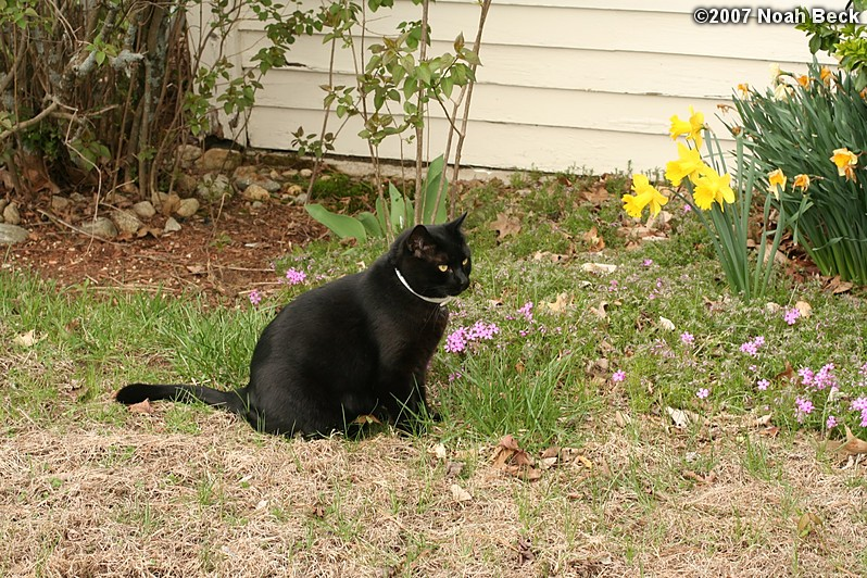May 5, 2007: Jeeves and daffodils in the garden