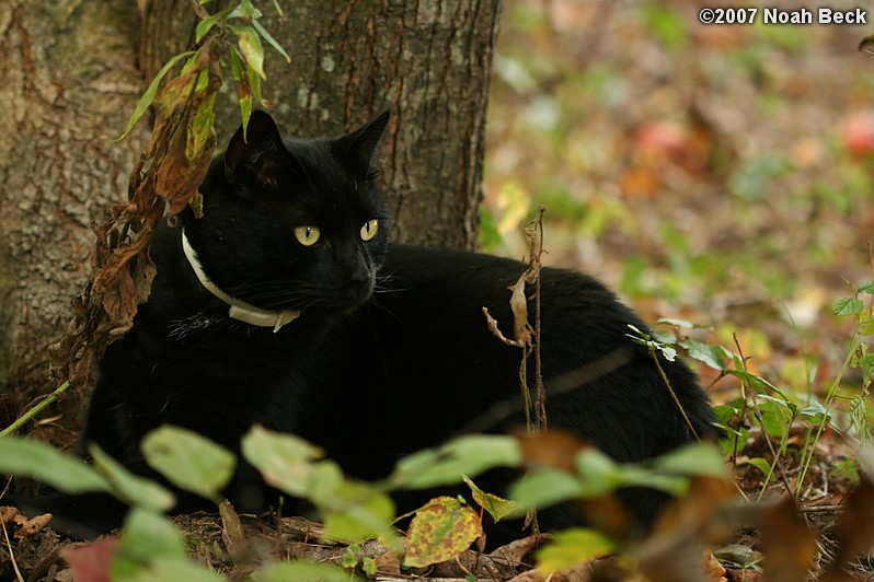 October 6, 2007: Jeeves resting at the base of a tree in the yard