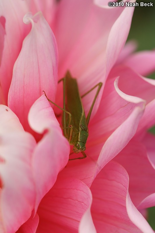 September 18, 2010: a katydid in a dahlia