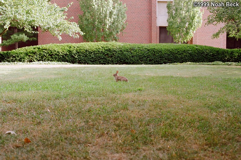 July 17, 1999: A rabbit on the Purdue University campus