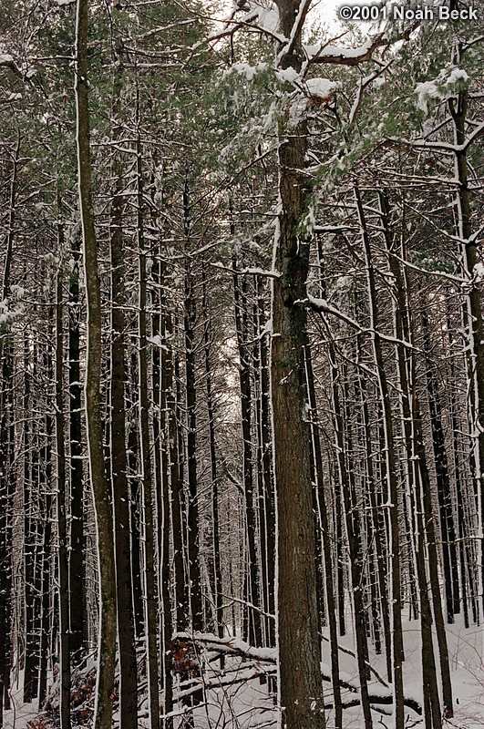 March 10, 2001: A wet snow stuck to the trees